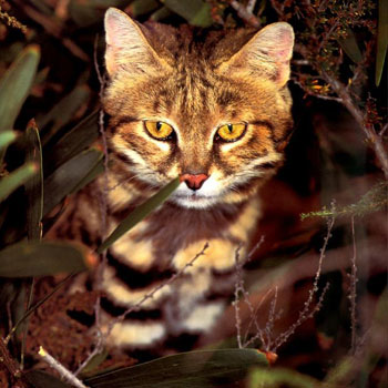 Black Footed Cat - Associazione Khoomfay