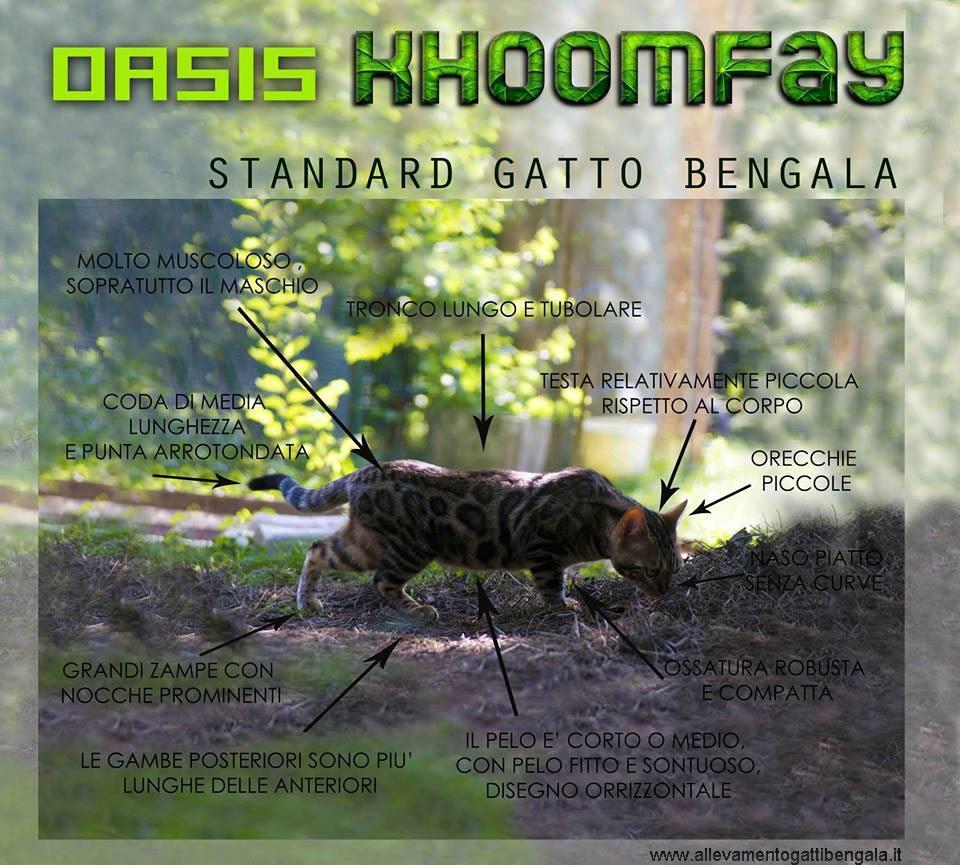 Le caratteristiche del gatto Bengala - Oasi Khoomfay
