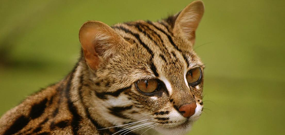 Asian Leopard Cat - Khoomfay